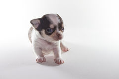 Chiwawa Spotted black short hair. Puppy dog, Pet Stock Photo