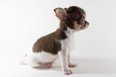 Chiwawa Spotted Brown Royalty Free Stock Photo