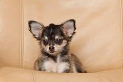 Chiwawa sur un petit animal familier de chien de chaise Image stock