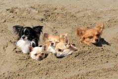 Chiwawas dans le sable Photographie stock libre de droits
