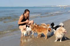 Chiwawas et fille sur la plage Images stock
