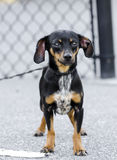 Chiweenie Chihuahua Dachshund mixed breed dog Stock Image