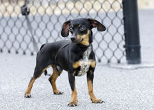 Chiweenie Chihuahua Dachshund mixed breed dog Royalty Free Stock Image