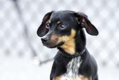 Chiweenie chihuahua trakenu jamnik mieszający pies obraz royalty free
