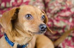 Chiweenie Dachshund Chihuahua Στοκ εικόνα με δικαίωμα ελεύθερης χρήσης