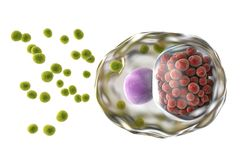 Chlamydia trachomatis bacteria. 3D illustration showing elementary bodies green, extracellular and reticulate bodies red, intracellular Stock Images