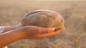 Chleb w rękach dziewczyny nad pszenicznym polem smakowity bochenek chleb na palmach świeży żyto chleb nad Dojrzałymi ucho zbiory wideo