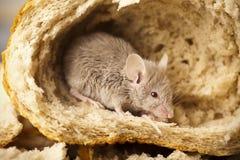 chlebowa mysz fotografia stock