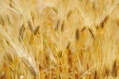 Chlebowej banatki żniwa śródpolny kukurydzany ucho Obraz Royalty Free