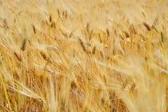 Chlebowej banatki żniwa śródpolny kukurydzany ucho Zdjęcia Royalty Free