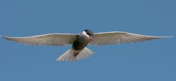 chlidonias hybrida tern wąsaty Obraz Royalty Free