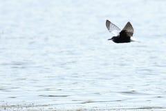 Chlidonias leucopterus, leucoptera, White-winged Tern. Stock Images