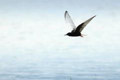 Chlidonias leucopterus, leucoptera, White-winged Tern. Royalty Free Stock Image