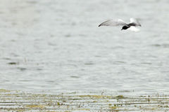 Chlidonias leucopterus, leucoptera, White-winged Tern. Royalty Free Stock Images