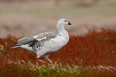 野生白色山地鹅, Chloephaga picta,走在红色秋天草,阿根廷 库存照片