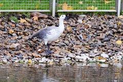 Chloephaga picta, Upland goose. Royalty Free Stock Photo