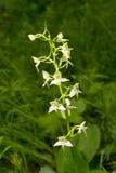 Chlorantha Platanthera Στοκ Φωτογραφία