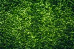 Chlorella prochowy tło zdjęcia royalty free