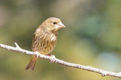 Chloris Chloris, νέα πουλιά εποχής στοκ φωτογραφία
