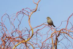 Chloris Carduelis - greenfinch, πράσινο πουλί κουδουνιών Στοκ Εικόνες