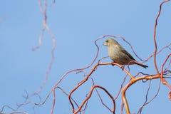 Chloris Carduelis - greenfinch, πράσινο πουλί κουδουνιών Στοκ φωτογραφία με δικαίωμα ελεύθερης χρήσης