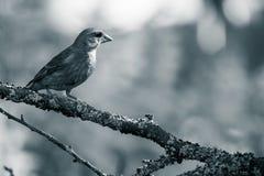 Chloris Carduelis Greenfinch στον κλάδο του δέντρου σε ένα δάσος Στοκ εικόνες με δικαίωμα ελεύθερης χρήσης