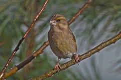 chloris carduelis greenfinch Στοκ φωτογραφία με δικαίωμα ελεύθερης χρήσης