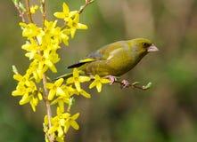 chloris carduelis greenfinch Στοκ Φωτογραφία