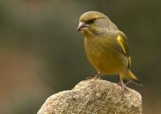 chloris carduelis greenfinch Στοκ Φωτογραφίες