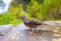 Chloris Carduelis, Greenfinch Στοκ Φωτογραφία