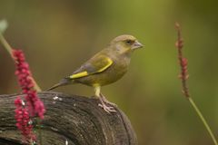 Green Finch, Chloris chloris. Chloris chloris, the Green Finch. A beautiful finch, mostly seen in parks and gardens royalty free stock photo