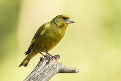 Green Finch, Chloris chloris. Chloris Chloris, the Green Finch. A common songbird stock images