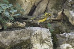 Chloris Chlorisvogel Lizenzfreie Stockfotos