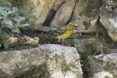 Chloris Chlorisvogel Stockfotos