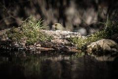 Chloris del Carduelis de Greenfinch en la orilla de la charca f del bosque Imagen de archivo libre de regalías
