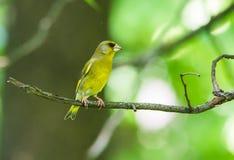 Chloris Chloris Greenfinch στο πάρκο στοκ εικόνες