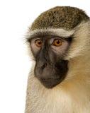 chlorocebus猴子pygerythrus vervet 免版税库存图片