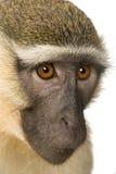 chlorocebus猴子pygerythrus vervet 免版税图库摄影