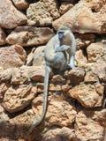 Chlorocebus-aetniops, die auf einem Felsen sitzen Stockbilder