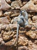 Chlorocebus-aetniops, die auf einem Felsen sitzen Stockfoto