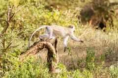 Chlorocebus pygerythrus, vervet małpa w Serengeti obywatela normie Fotografia Stock