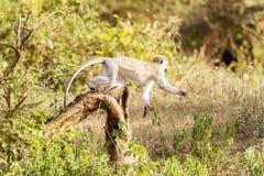 Chlorocebus pygerythrus, vervetapa i Serengeti medborgaremedeltal Arkivbild