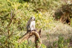 Chlorocebus pygerythrus, vervetapa i Serengeti medborgaremedeltal Arkivfoto