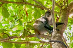 Chlorocebus que senta-se em uma árvore fotografia de stock