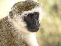 Chlorocebus (scimmia) nella sosta orientale di Tsavo, Kenia Fotografia Stock