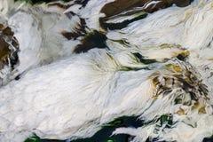 Chloroflexus aurantiacus, photosynthetic bacterium isolated from hot springs. Algae australia background bacteria environment floating lake many natural nature royalty free stock photos