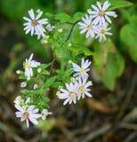 "Chlorolpis de Eurybia del †azul de Ridge White Heart Leaved Aster "" Foto de archivo"
