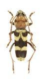 Chlorophorus trifasciatus Stock Image