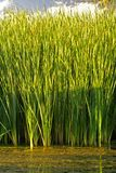 Chlorophyll. Tall reeds thriving in a tropical marsh Royalty Free Stock Image