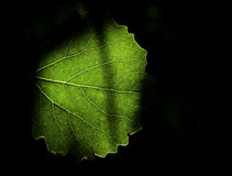 Chlorophyll. Sun shining through leaf in the wood Royalty Free Stock Photo